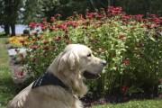 Certains établissements Fairmont ont même leur chien ambassadeur.... (Photo fournie par Fairmont) - image 2.0