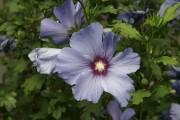Hibiscus syriacus «blue bird»... (Photo Wikimedia Commons) - image 3.0
