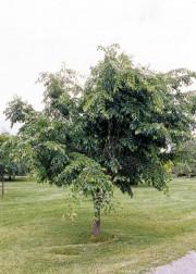 Seule une minorité de frênes pourra être sauvée de l'agrile, d'autant plus que... - image 5.0