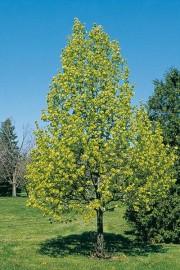 Seule une minorité de frênes pourra être sauvée de l'agrile, d'autant plus que... - image 8.0