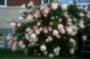 Hydrangée paniculée Grandiflora: moins on la taille, plus... (Photo www.jardinierparesseux.com) - image 1.0