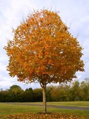 Il n'y aucun problème à déplacer un érable... (www.jardinierparesseux.com) - image 2.1