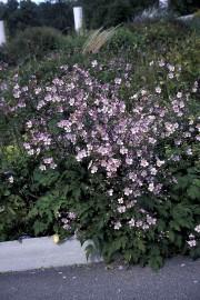 L'anémone d'automne 'Robustissima' est la plus rustique des... (www.jardinierparesseux.com) - image 1.0