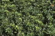 Le pachysandre du Japon, tolérant de l'ombre profonde... (www.jardinierparesseux.com) - image 2.1