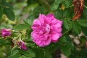 Les rosiers rugueux, comme ce 'Hansa', peuvent pousser... (www.jardinierparesseux.com) - image 1.0