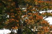 Ce pin situé près d'une route a été... (www.jardinierparesseux.com) - image 1.1