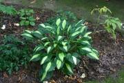Les plantes forestières, comme ce hosta, composent parfaitement... (www.jardinierparesseux.com) - image 2.1