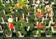 Il existe des centaines de cultivars de pélargonium... (www.jardinierparesseux.com) - image 2.0