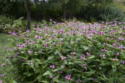 La galane fleurit jusqu'en novembre et, comme toute... (www.jardinierparesseux.com) - image 2.0