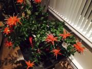 Aeschnanthus x splendidus... (Jo-Ann) - image 2.1