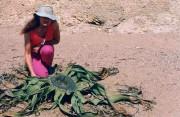 Le welwitschia est si bizarre qu'on peine à... (PHOTO UGO SCHMIDT, WIKIMEDIA COMMONS) - image 1.0