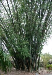Le dendrocalamus est une graminée qui peut atteindre... (Photo www.jardinierparesseux.com) - image 1.1
