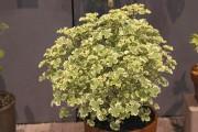 Pelargonium 'Prince Rupert Variegated' combine une senteur intense... (PHOTO WWW.JARDINIERPARESSEUX.COM) - image 1.1