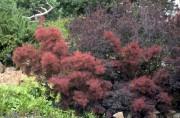 Le fustet fleurit inégalement sous notre climat.... (WWW.JARDINIERPARESSEUX.COM) - image 2.0