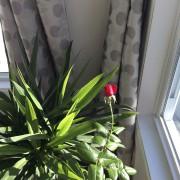 On voit rarement des rosiers en fleurs dans... (PHOTO FOURNIE PAR VINCENT LÉGARÉ) - image 2.1