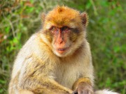 Les macaquesont pris l'habitude de voir des humains... (La Nouvelle, Jonathan Custeau) - image 1.0