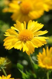 La Gaillardia Mesa Yellow.... (National Garden Bureau) - image 1.0