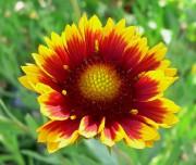 La Gaillardia x Grandiflora.... (Internet) - image 1.1