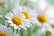 La camomille, comme d'autres plantes oubliées, fait son... (Photo Digital/Thinkstock) - image 5.0