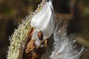 L'asclépiade, une plante ignorée jusqu'à récemment qui pourrait... - image 1.0