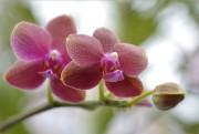 La variété d'orchidée phalaenopsis... (Le Soleil, Yan Doublet) - image 2.0