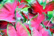 Caladium 'Red-Bellied Tree Frog' (Caladium 'Red-Bellied Tree Frog')... - image 1.1