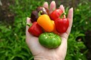 Le National Garden Bureau a élu le poivron... (National Garden Bureau) - image 1.1