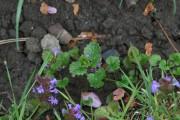 Le lierre terrestre est une plante couvre-sol importée... (WWW.JARDINIERPARESSEUX.COM) - image 2.0