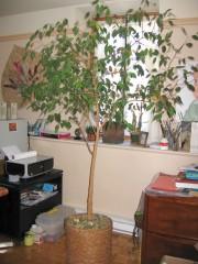Le Ficus benjamina est réputé pour sa tendance... (PHOTO FOURNIE PAR LISE HINSE) - image 2.1