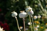 Capsules de graines de pavot... (WWW.JARDINIERPARESSEUX.COM) - image 2.1