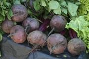 Betteraves... (www.jardinierparesseux.com) - image 1.1
