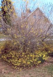 Après un hiver trop rigoureux, ce forsythia fleurit... (Photo Marie-Paule Lyonnais) - image 2.1