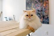 Désiré, le chat himalayen, est bien intégré à... (Le Soleil, Pascal Ratthé) - image 1.1