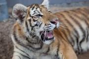 En plus de ce tigre, le Zoo de... (Photo: Olivier Croteau, Le Nouvelliste) - image 1.0