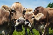 Les vaches suisses brunes ont la réputation de... (PHOTO ULYSSE LEMERISE, COLLABORATION SPECIALE) - image 5.1