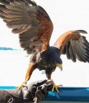 La présence d'oiseaux de proie dans le secteur... (Photo fournie) - image 1.0