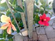 Cet hibiscus avec des fleurs de deux couleurs... (Photo Nathalie Labbé) - image 2.1