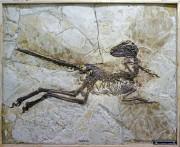Le plus gros dinosaure fossilisé avec ses plumes,... (Photo Steve Brusatte, Université d'Édimbourg, AFP) - image 1.0