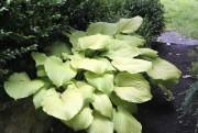 Hosta 'Sum and Substance' est le plus gros... (www.jardinierparesseux.com) - image 2.0