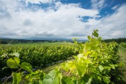 Paul Jodoin a planté plusieurs variétés de vigne,... (PHOTO OLIVIER PONTBRIAND, LA PRESSE) - image 2.0