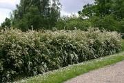 Une haie de spirées Van Houtte... (Photo www.jardinierparesseux.com) - image 2.0