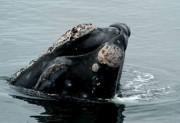 Les baleines noires vivent dans les eaux tempérées... (Photo tirée du site www.dfo-mpo.gc.ca) - image 1.1