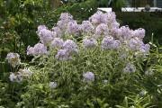 Malgré son feuillage fortement panaché, le phlox 'Norah... (www.jardinierparesseux.com) - image 1.0