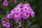 Le phlox des jardins 'Eva Cullum' est parmi... (www.jardinierparesseux.com) - image 1.1