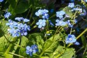 Fleurs de brunnera... (www.jardinierparesseux.com) - image 2.0