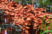 À partir de deux ou trois boutures de... (www.jardinierparesseux.com) - image 1.0