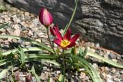 Sous ma forme originale, comme cette tulipe, Tulipa... (Photo www.jardinierparesseux.com) - image 1.0