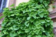 L'aristoloche siphon est une jolie grimpante au feuillage... (Photo www.jardinierparesseux.com) - image 2.0