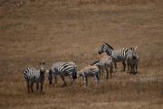 Dans les champs entourant le château, des zèbres... (Photo Sylvain Sarrazin, La Presse) - image 1.1