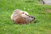 Les marmottes peuvent faire de sérieux dégâts aux... (WWW.JARDINIERPARESSEUX.COM) - image 12.0